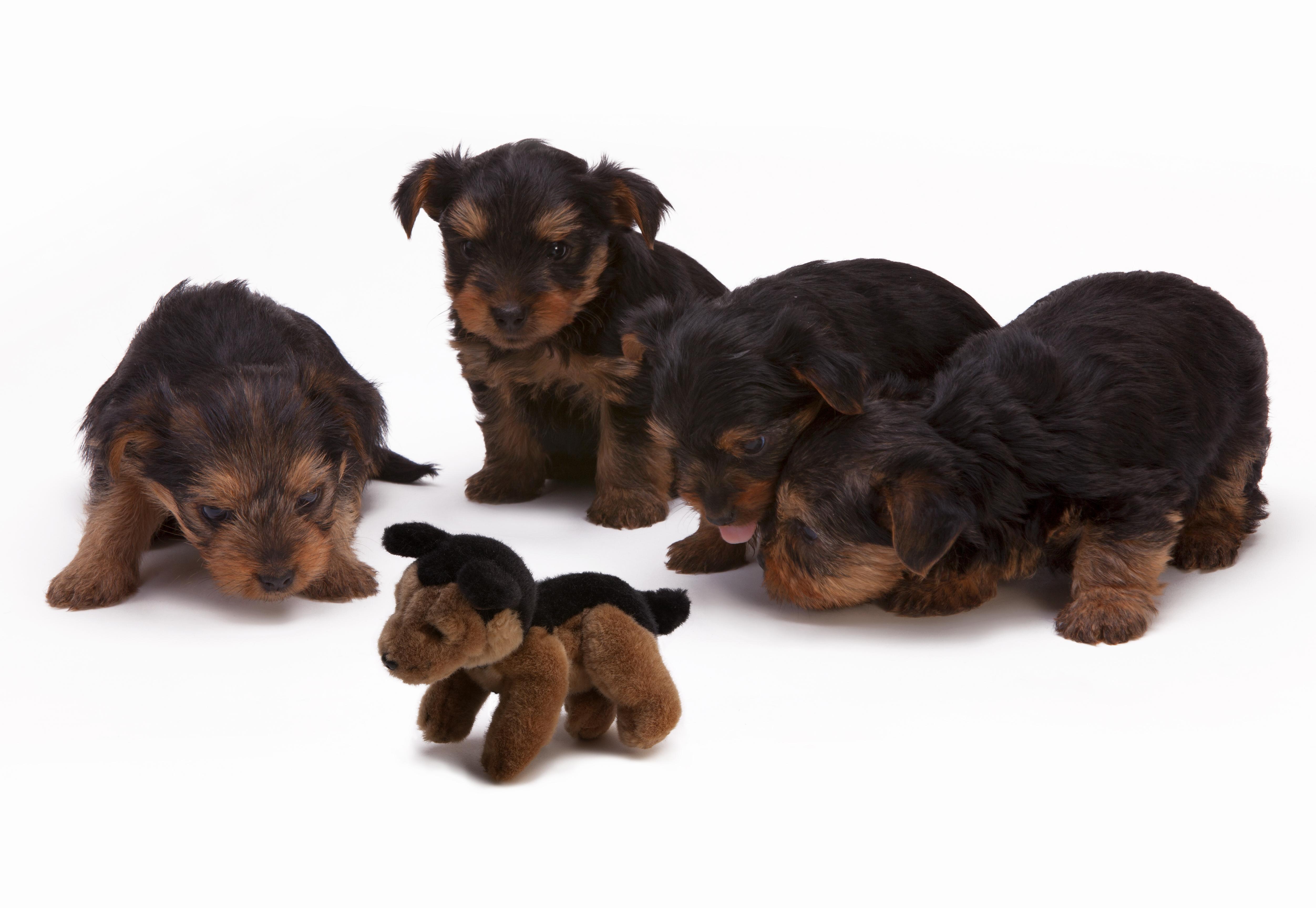 Fire dejlige hundehvalpe kigger nysgerrigt på en bamse-hundehvalp der ligner dem